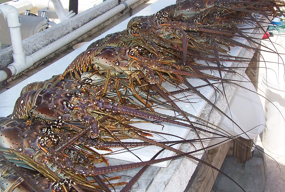 No Claws Required! Florida Keys Lobster Season
